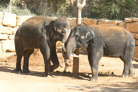comunicarse: Elephants communicate friendly