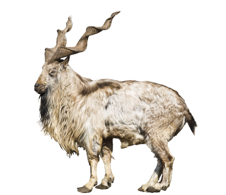 Wild screw-horned goat (markhor) on a white background isolated Stock Photo