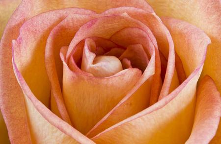 roseleaf: Bright yellow-pink rose macro Stock Photo