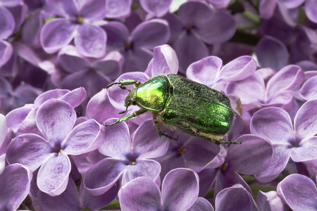 Rose chafer (cetonia aurata) is sitting on flowers of lilac