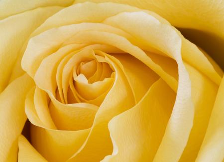 roseleaf: Bright yellow rose macro Stock Photo