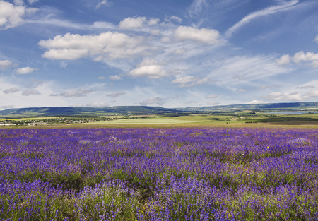 Lavender field in Crimea at sunny summer day, Russia Stock Photo