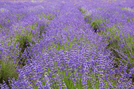 Big field of the blossoming lavender on the hill in summer day