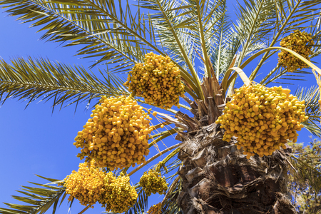 Date palm tree with dates Stock Photo
