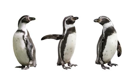 Three Humboldt penguins on white  background isolated  Zdjęcie Seryjne