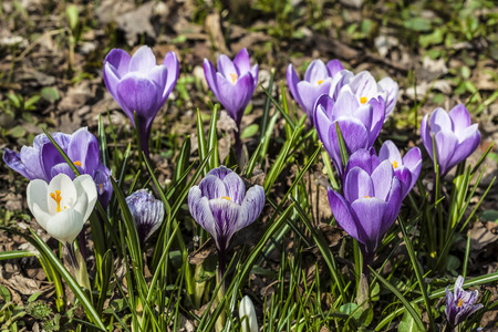 bright spring blue crocus flowers on the clearing Zdjęcie Seryjne