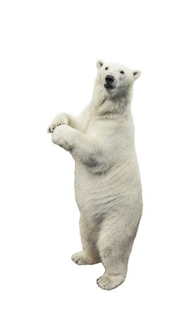 Standing polar bear. Isolated over white background