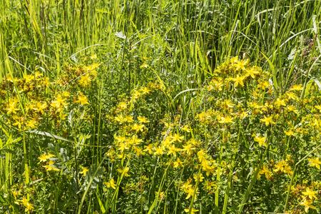 St. John's wort flowers. Hypericum perforatum in a field on a sunny day