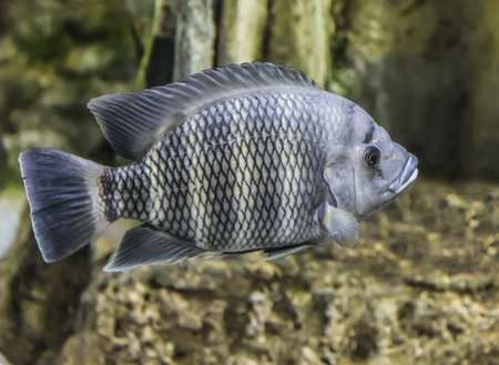 Zebra tilapia (buttikoferi Heterotilapia) or Buttikofer floats in the aquarium Stock Photo