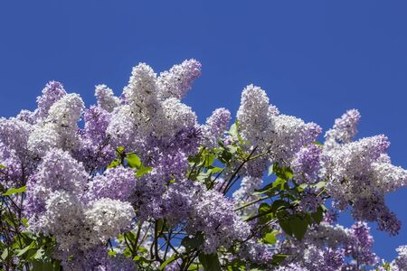 Blooming lilac bushes on blue sky background