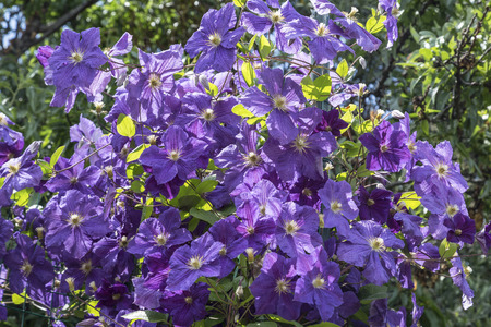 Flowering clematis purple