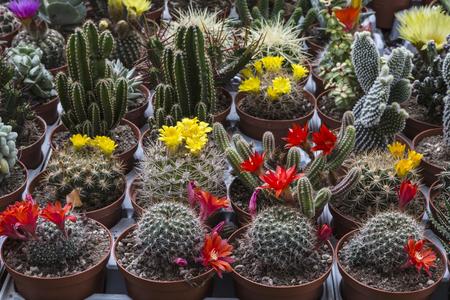 Sale of flowering cacti in the market Stockfoto