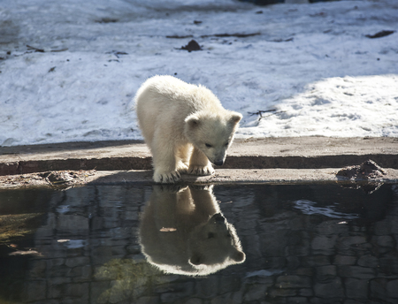 Little white bear looks with surprise at his reflection in the water