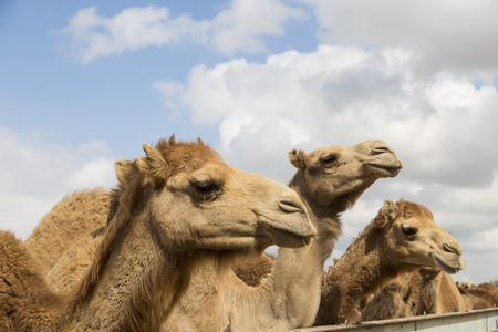 Camels on the farm begging for food from tourists Stock Photo