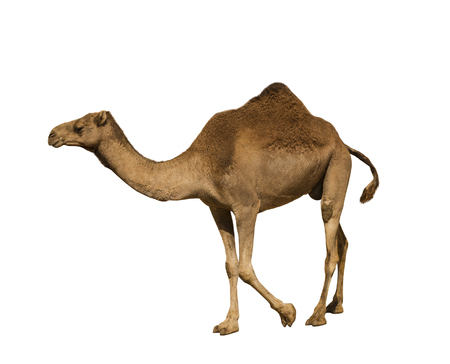 Dromedary on white background isolated