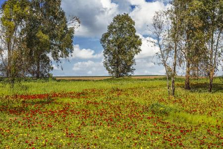 Flowering anemones in the Negev desert in the forest of Shocked in February, Israel 版權商用圖片