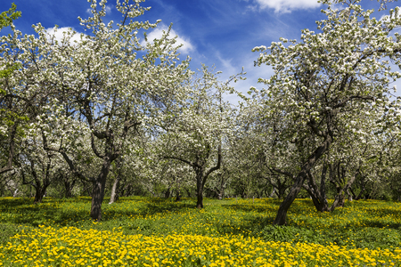 Old apple orchard blooms in spring