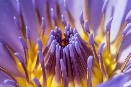 flower purple lotus in the pond macro