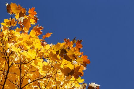 Bright yellow autumn maple leaves on blue sky background