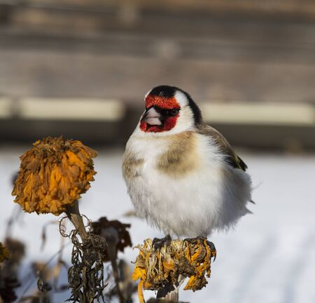 Goldfinch sits on a dried marigolds flower