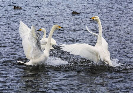 Two of the whooper Swan flapping their wings, fighting on the lake