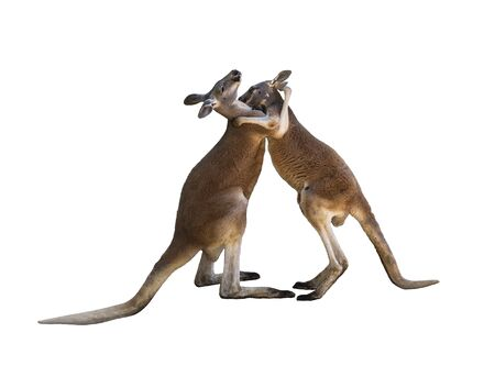 Friendly hug. Fighting two red kangaroos on white background isolated