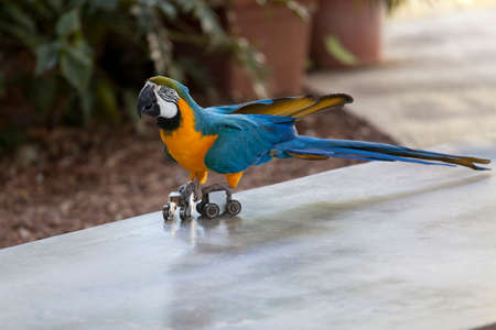 Trained parrot blue-yellow macaw riding on rollers