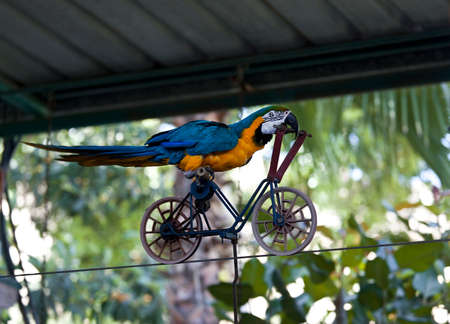 Trained parrot blue-yellow macaw riding a bike on the wire