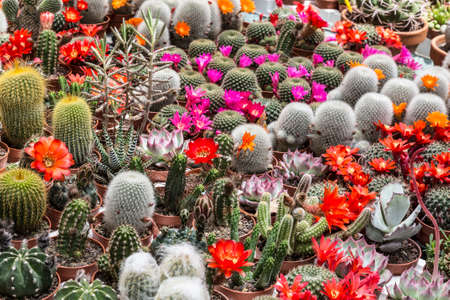 beautiful blooming multicolored cacti in pots are sold at the flower market