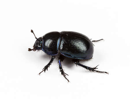 Forest dung beetle on a white background closeup Standard-Bild