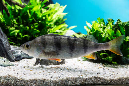 river bass swims in the river among aquatic plants