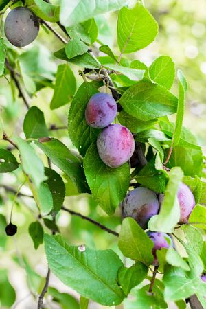 Ripe plums ripened on a branch of a plum tree with green leaves in the garden. The concept of agriculture and horticulture. Grow healthy vitamin fruits.Ingredients for plum smoothie, juice, pie