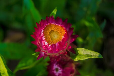Beautiful pink flower with green leaves on green background. Gardening. Autumn harvest. Floriculture. Garden and vegetable garden. Background. Wallpaper. Banner. Texture. close up. selective focus.