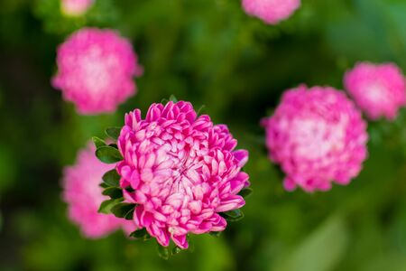 Beautiful pink Aster flowers with green leaves on a green background. Gardening. Autumn harvest. Floriculture. Garden and vegetable garden. Background. Wallpaper. Banner. Texture. selective focus.