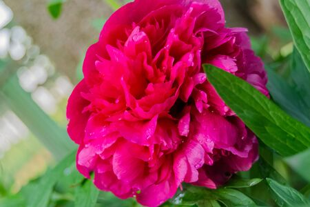 Pink peony flower with green leaves of greenery in the garden. Gardening. Garden. agriculture.Autumn harvest. Summer flowers. Bouquet. Background. Wallpaper. texture. close up. Selective focus