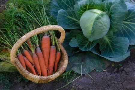Fresh raw organic vegetables in the garden, Ripe carrots in the basket, cabbage, garlic.The concept of autumn vegetables. Harvest. Gardening. Fruits and vegetables. Ingredients from healthy food.