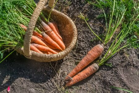 Fresh raw organic vegetables in the garden, Ripe carrots in the basket.The concept of autumn vegetables. Harvest. Gardening. Fruits and vegetables. Ingredients from healthy food.