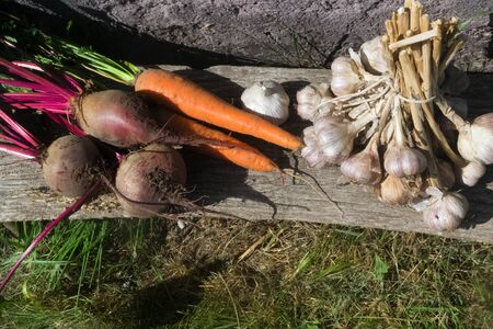 Fresh raw organic vegetables in the garden, Ripe carrots in the basket, beet, garlic.The concept of autumn vegetables. Harvest. Gardening.Fruits and vegetables. Ingredients from healthy food.