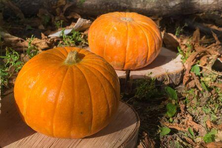 Halloween concept.Autumn composition of vegetables. Harvest. Pumpkins on the ground in the garden.Autumn season, thanksgiving holiday. Garden and vegetable garden. Hallowmas Foto de archivo - 132883111