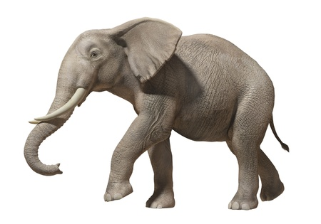 Isolated image of an elephant on white background photo