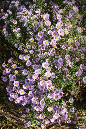 astra: Small garden Astra flowers group of Alpine asters