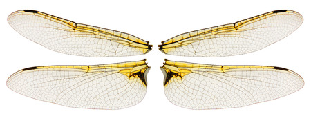 Dragonfly wings symmetric isolated on white background