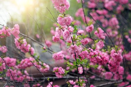 Spring flowering cherry blossoms in the garden on the plot