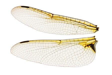 Dragonfly wings transparent isolated on white background