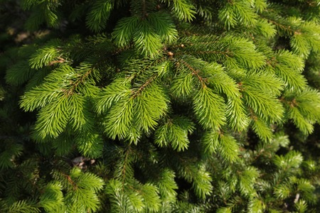 Green fluffy spruce branches to celebrate Christmas