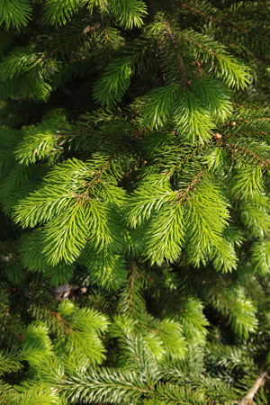 celebrate: Green fluffy spruce branches to celebrate Christmas