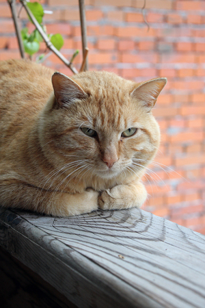 Rustic red cat has a rest after catching mice