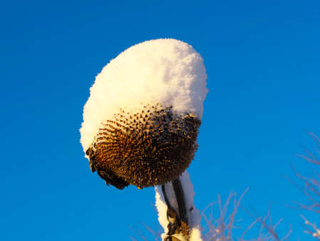 sapless: Withered sunflower head without seeds covered snow