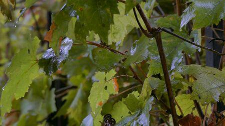 Raindrops on grape leaves 写真素材