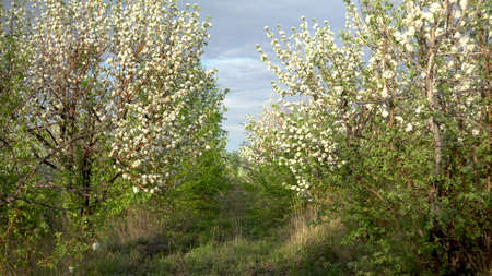 Walk through the blooming apple orchard. Alley of trees. Foto de archivo